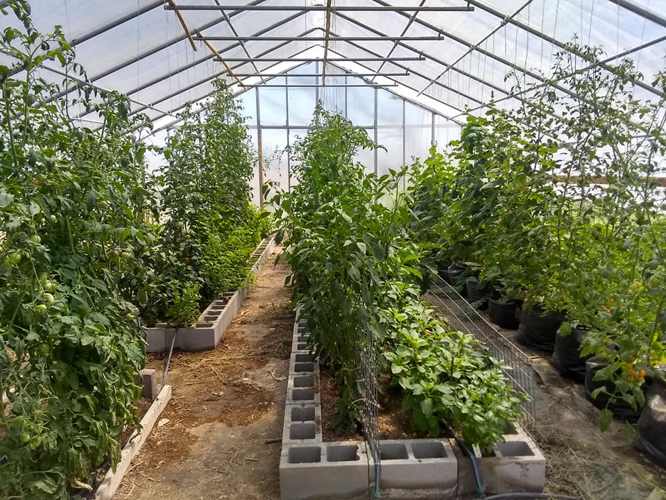 Lazy Ox Farm's greenhouse variety testing and seed saving