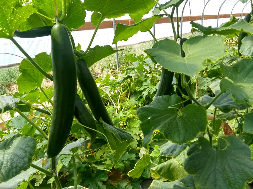 cucumbers maturing in our garden